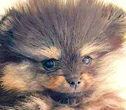 Super süßer Mini Pomeranian Rüde