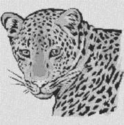 Vorlage für Ministeck Leopard 60x60cm