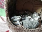5 Britische Kätzchen suchen eine