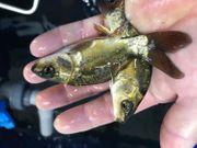 Besatzfische Spiegelkarpfenca 3-5 cm