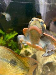 Rotbauch-Spitzkopfschildkröte Wasserschildkröte