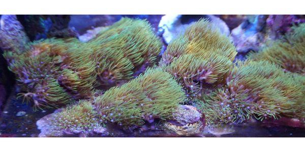 Erythropodium caribaeo Affenhaar SPS Koralle