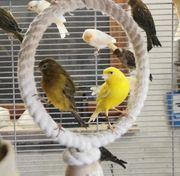 Kanarienvögel von 2021
