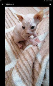kanadischen Sphynx kitten