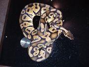 königspython pastel Männchen