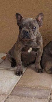 Französische Blue Bulldog