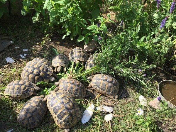 Kleiner Kühlschrank Für Schildkröten : Griechische landschildkröten weiblich jahrgang in rülzheim