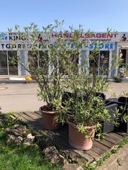 XXL Oleander mit Übertopf Pflanze