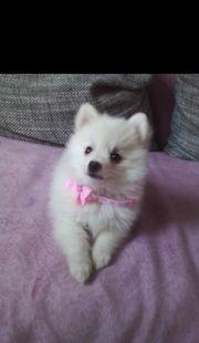 Mini Pomeranian Lea Zwergspitz