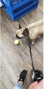 Französiche Bulldogge Hündin