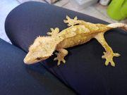 kronengecko Weibchen abzugeben