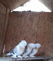 Sebab Tauben - Sebab Güvercin