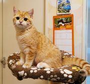 Goldene BKH Kitten mit Stammbaum