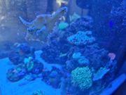Fangfeilenfisch