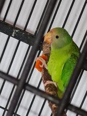 pflaumenkopfsittich vögel