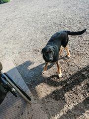 Berner Sennen Schäferhundmix