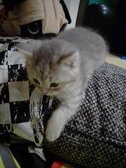 Bkh Mix Babykatze