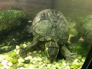 Moschusschildkröte mit 2 Aquarien Heizung