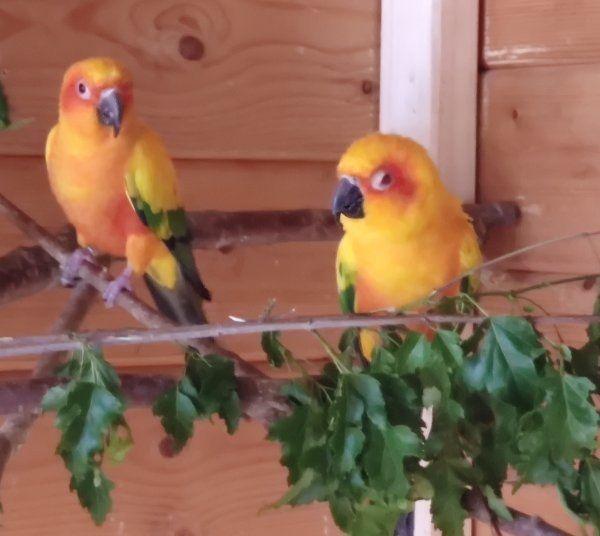 Sonnensittich - Paar kurzfristig abzugeben