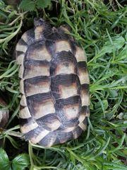 Breitrand Schildkröten Pärchen von 2008