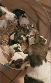 Jack Russel Terrier Welpen