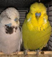 schauwellensittiche Wellensittiche Vogelkäfig