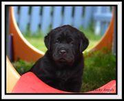 Wunderschöne Reinrassige Labrador Welpen in