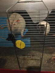 4 Ratten mit Zubehör