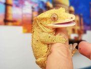 Crested Gecko Correlophus ciliatus