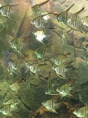Pterophylum Scalar Segelflosser