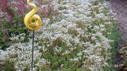 Mauerpfeffer immergrün für Garten und