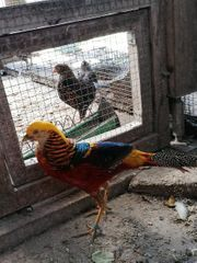 Goldfasan Rot Fasan Ziergeflügel Geflügel