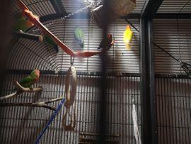 Vögel - 7 Lovebirds mit großer Innenvoliere