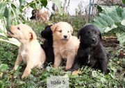Besondere Edle Mix-Welpen Familienhunde - treue