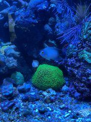 Meerwasserfisch Centropyge vrolikii Perlschuppen Zwergkaiser