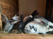 Kaninchen aus Hobbyzucht
