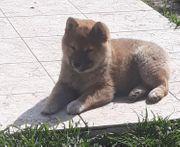 Shiba inu 15 Wochen alt