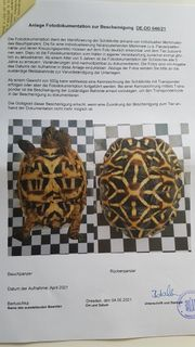 2 Sternschildkröten Geochelone elegans