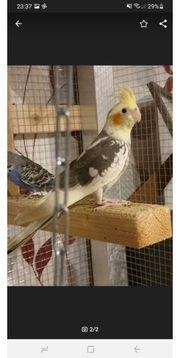 2 nymphensittich Hennen abzugeben ca