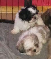 Traumhafte Welpen Familienhund Klein liebend