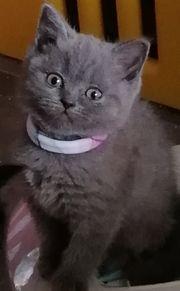Entzückende Bkh kitten blau geimpft