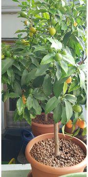 Orangen Bäumchen mit Fr