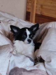 verkaufe eine wunderschöne kleine Chihuahua