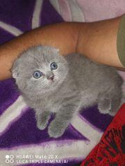 Reinrassige Scottish Kitten