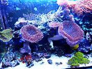 Kupferanemonen und Lederpilzkorallen zu verkaufen