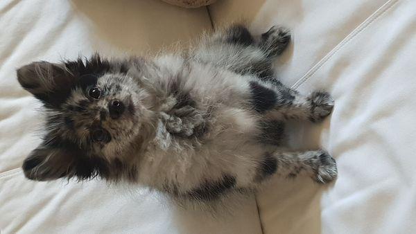 Pomeranian Mädchen