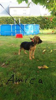 Bloodhound - Welpen