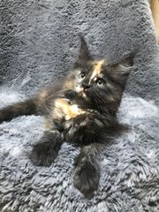 Maine Coon Kitten mit Stammbaum