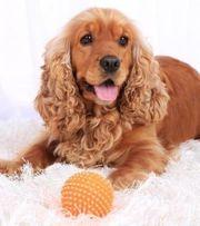Welpe als Zweithund Familienhund gesucht