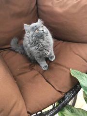Reinrassige BKH BlK Kitten